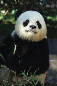 The San Diego Zoo's giant pandas are getting new varieties of bamboo in their diet.