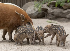 Red river hogs are the smallest of the African swine.