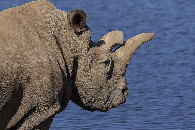 41-year-old Nola, who lives at the Safari Park, is 1 of 5 remaining Northern white rhinos on the planet.