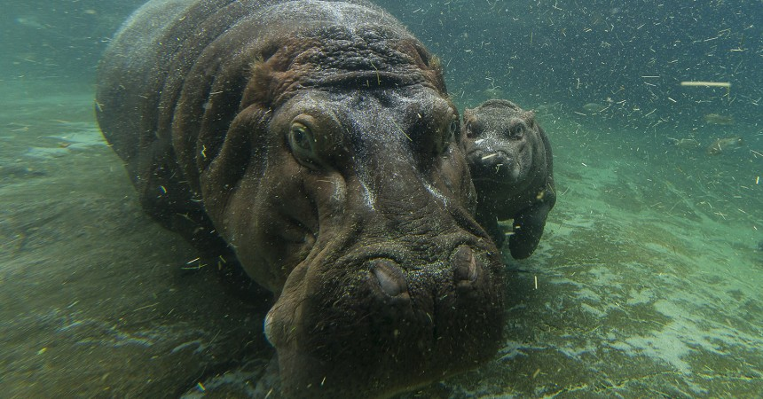 A Not-So-Little Girl: Hippo Calf Born in April at the San Diego Zoo is Female
