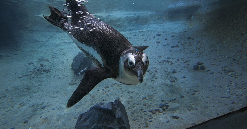Zoo Penguins to Benefit from a $5 Million Gift!