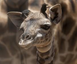 Giraffe Calf at San Diego Zoo