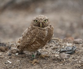 Tiny Backpacks on Small Owls Helps Conservation