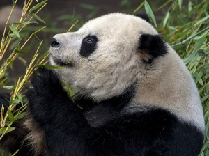 Handsome Gao Gao is currently on exhibit with his beloved 'boo.