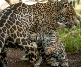 The public is invited to help select a name for the Zoo's rambunctious jaguar cub.