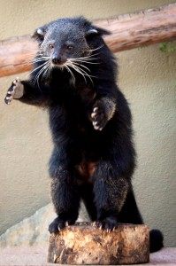 "Binturongs are also known as ""bear cats"" because they look like a cross between those two animals."