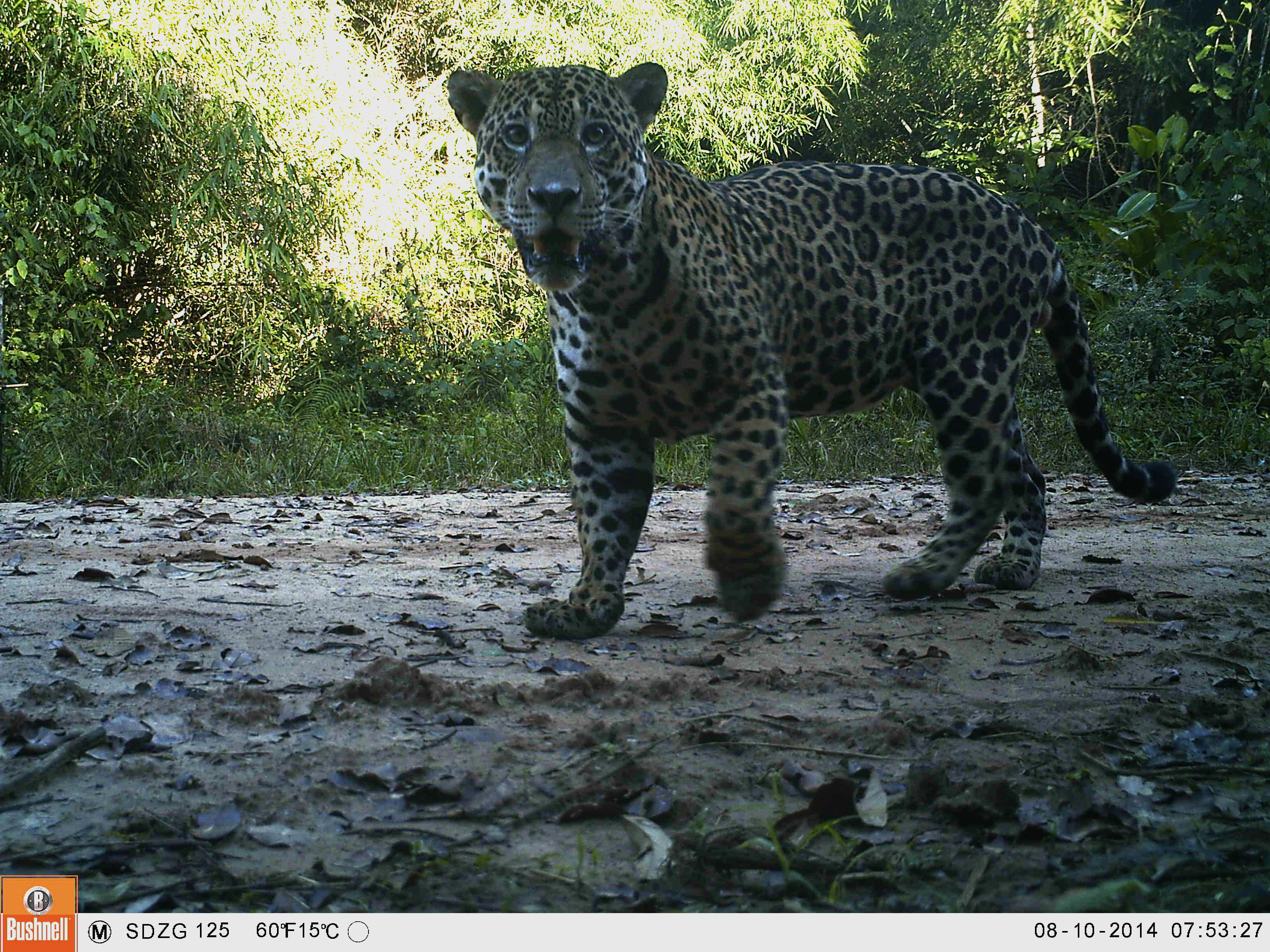 a study of endangered species of jaguars Jaguar numbers at specific study sites in central and south america are or the convention on international trade in endangered species of wild fauna and.