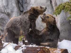 "Grizzly bear brothers Scout and Montana enjoyed a ""snow day"" recently at the San Diego Zoo."
