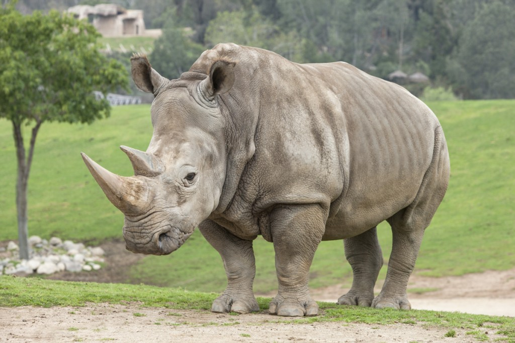 Rhino horn has no proven medicinal value