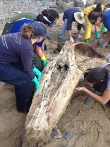 The team repositions the whale skull for better access for cleaning, measuring, and sample collection.