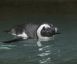 Penguin Cam Offers Live Views of Adorable Birds