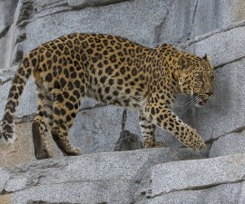 Amur Leopard Explores New Habitat at San Diego Zoo Asian Leopard Exhibit Expands Barlin-Kahn Family Panda Trek