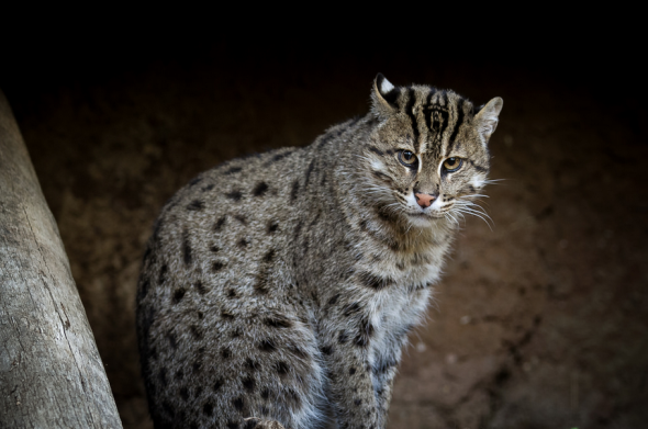 Fishing cat by Bob Worthington