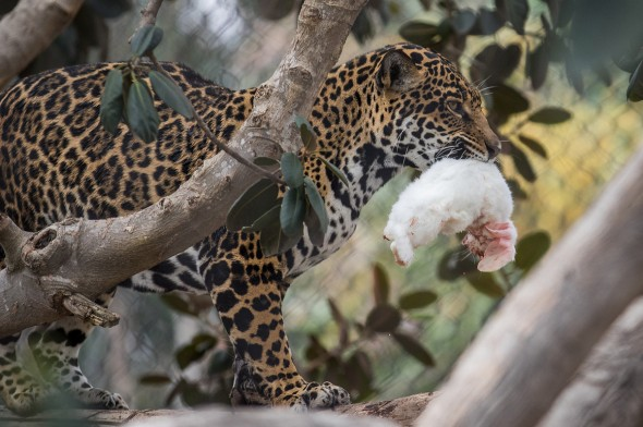 Jaguar by Bob Worthington
