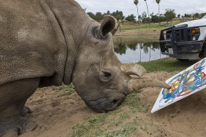 Nola, a 41-year-old, a critically endangered female northern white rhino, creates a one-of-a-kind art piece at the San Diego Zoo Safari Park.