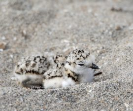 Two day-old Western snowy plover chicks huddle together in the sand this morning on Naval Base Coronado. These chicks were weighed, measured and given leg bands by a San Diego Zoo Global researcher before being re-released into their native habitat. The western snowy plover is a small shorebird found on beaches along the Pacific coast from Washington to Baja California.  Researchers go out to look for chicks six days a week and have recorded and banded more than 70 chicks this nesting season. Snowy plovers lay eggs in small indentations in the sand. The plover's white and tan coloring makes it difficult for researchers to find the chicks, but it also camouflages them from predators, including crows, ravens and peregrine falcons.  The birds will sit and incubate their eggs for 28 days but will leave their nests when threatened by people. The snowy plover's decline is attributed to loss of nesting habitat and habitat degradation caused by expanding beachfront development and recreation, human disturbance and predation. Naval Base Coronado is committed to maintaining a productive habitat for the birds that is properly managed so as not to lose military training or conservation value over the long term. This goal has resulted in site protection and monitoring of the species. To assist with their conservation efforts, the Navy has hired researchers from the San Diego Zoo Institute for Conservation Research to help monitor the birds' habitat during their nesting season, March 1 through Sept. 15.   Photo taken on June 22, 2015 by Tammy Spratt, San Diego Zoo Global. ### PERMITTED USE: Images are provided to the media solely for reproduction, public display, and distribution in a professional journalistic context in connection with newspaper, magazine, broadcast media (radio, television) or Internet media (ad enabled blog, webcasts, webinars, podcasts). Images may not be made available for public or commercial download, licensing or sale.  REQUIRED CREDIT AND CAPTION: