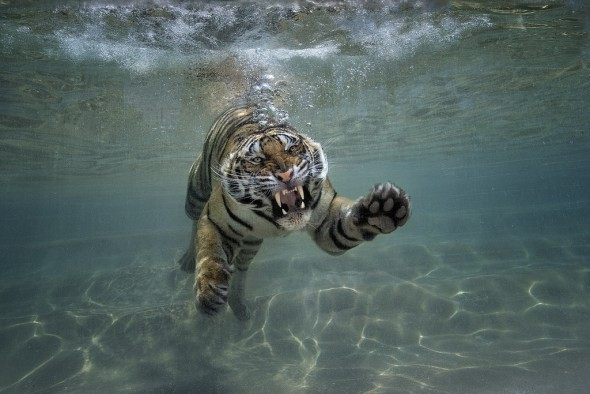 While most cats avoid it, tigers seek out water to swim and hunt. | 21 Gripping Tiger Facts