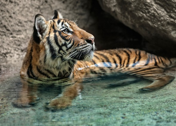 There are six subspecies of tiger living today; Amur or Siberian, Bengal or Indian, Indochinese, Malayan, Sumatran, and South China.