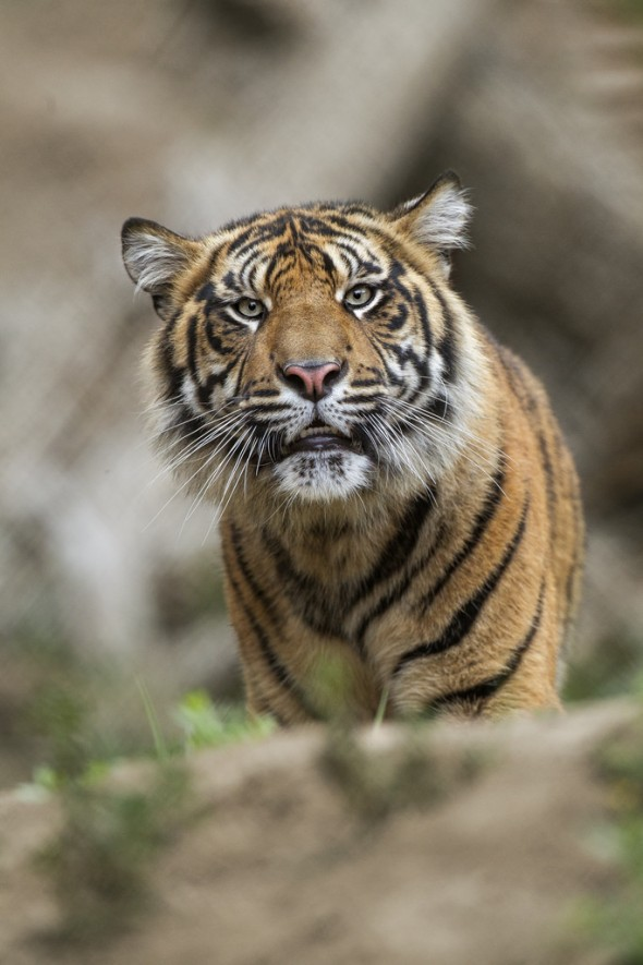 At the current rate, all wild tigers could be extinct in 5 years. | 21 Gripping Tiger Facts for Global Tiger Day