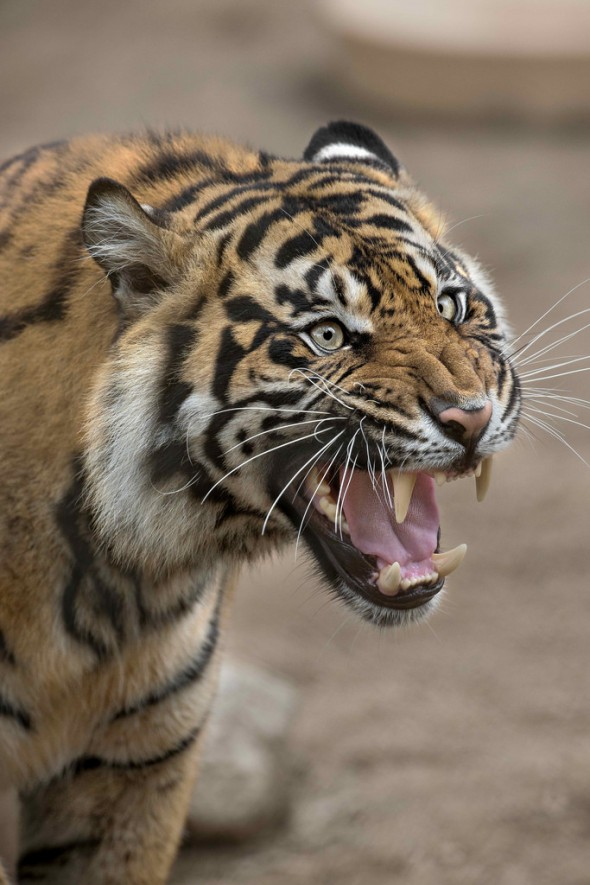 Tigers have the largest canines of any big cat species, reaching 2.5 to 3 inches long. | 21 Gripping Tiger Facts
