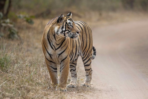 A tiger's stripes are skin deep. | 21 Gripping Tiger Facts