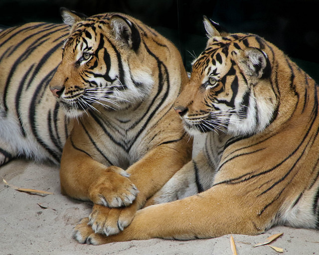 Brothers Berani & Cinta are inseparable. (photo by Penny Hyde)
