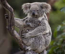 Koala Joey at San Diego Zoo Checks in as Healthy — with an Attitude