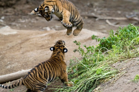 A tiger can cover a distance of up to 33 feet in one leap. | 21 Tiger Day Facts
