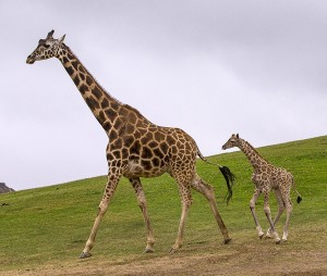 Two-week old Congo hurries to keep up with his mother, Chinde, at the Safari Park.
