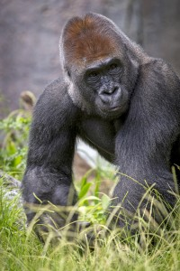 Maka is the leader of the Zoo's gorilla bachelor troop.
