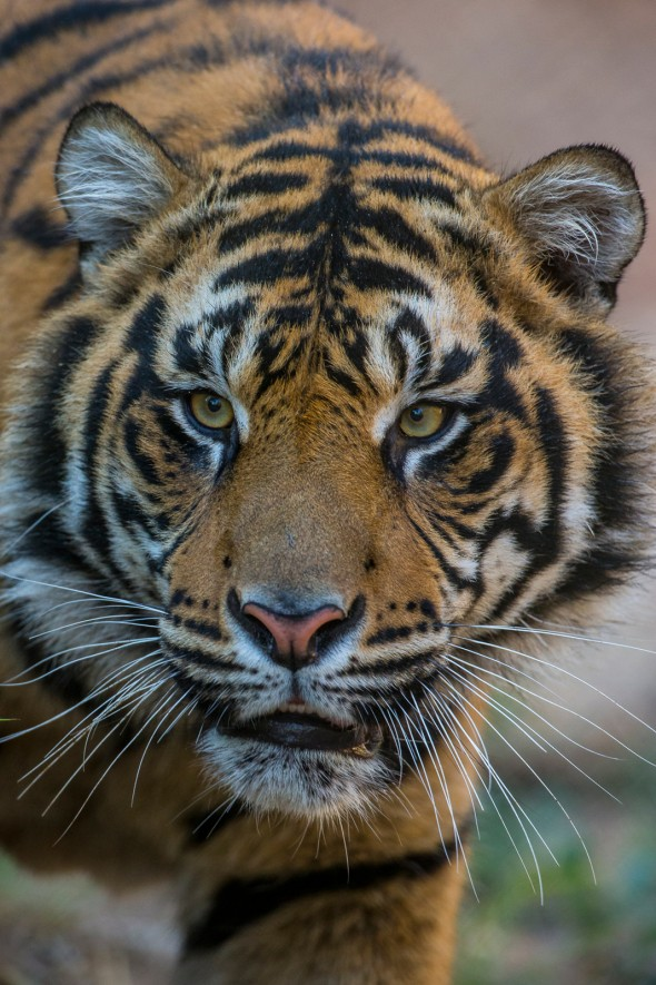 3 tiger subspecies (Bali, Javan, and Caspian) are extinct, and the remaining six are all highly endangered due to poaching and habitat encroachment. | 21 Gripping Tiger Facts