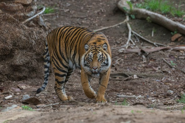 Female tigers are about 20% smaller and lighter than males. | 21 Gripping Tiger Facts