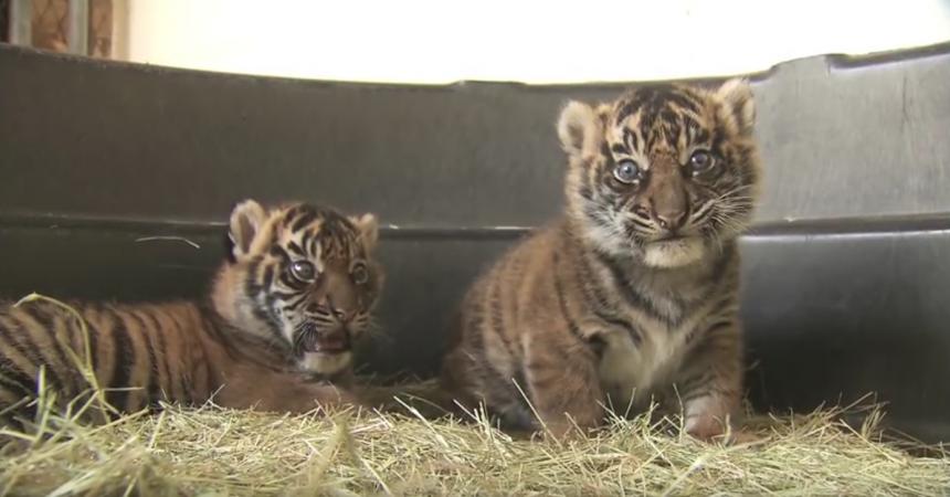 10 Tiger Vines for Global Tiger Day