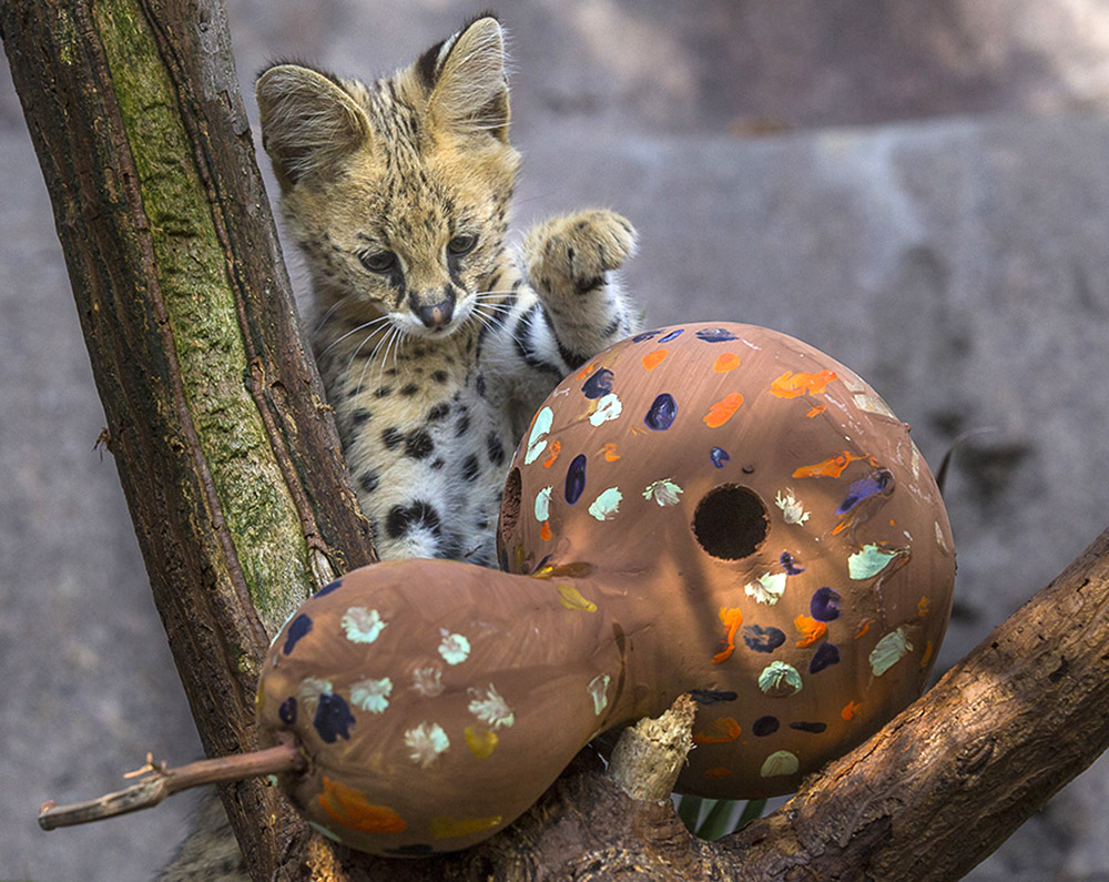 African Serval Kittens and Mother Play Pounce at the San Diego Zoo