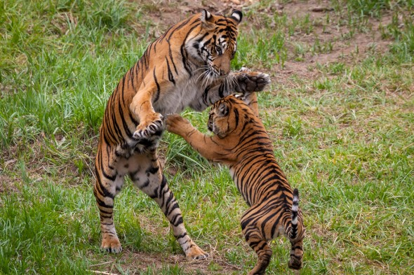 Tigers can take down prey 5 times their own weight. | 21 Gripping Tiger Facts