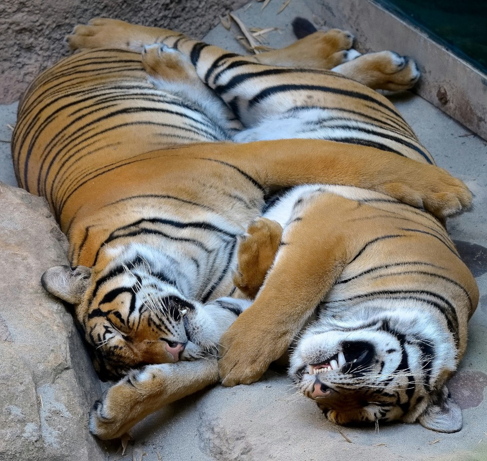 Brothers Cinta & Berani snuggle up for a cat nap (photo by Deric Wagner)