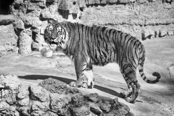 The earliest tiger fossils date back about two million years. | 21 Gripping Tiger Facts