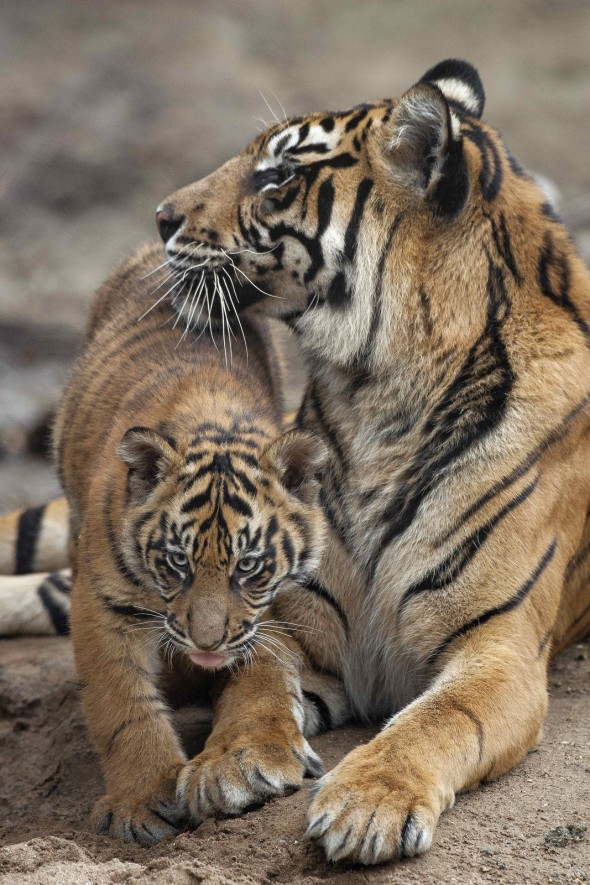 Tigers are solitary cats, unless a female is raising cubs. | 21 Gripping Tiger Facts