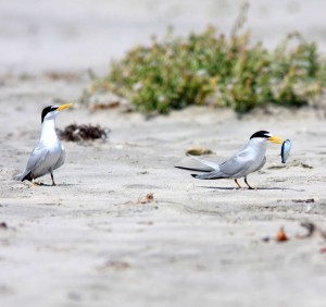 Presenting food to a mate potential  mate is part of the least tern's courtship ritual.