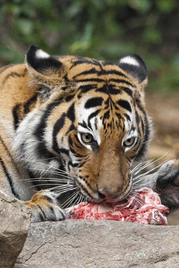 A tiger's tongue is covered with small, hard, hooked bumps called papillae—making it a perfect scraper to rasp off fur, feathers, and meat from bones. | 21 Gripping Tiger Facts