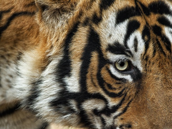 A tiger's night vision is six times better than that of a human. | 21 Gripping Tiger Facts