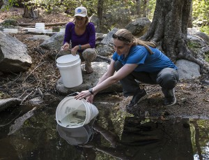 Debra Shier (left) and Nicole Gardner from the San Diego Zoo Institute for Conservation Research release frogs into Fuller Mill Creek in the San Bernardino National Forest. The frogs were hatched at the Arnold and Mabel Beckman Center for Conservation Research in Escondido, Calif., as part of the recovery program for the Southern California mountain yellow-legged frog (Rana muscosa)—one of the most endangered frogs in North America. The San Diego Zoo Institute for Conservation Research, along with its partners, has been working to save this species from extinction since 2006. This year, the program, which includes captive breeding, resulted in more than 5,600 eggs laid and the most viable embryos in a single season: nearly 1,800. On Aug. 6, 200 tadpoles that hatched this year, along with 27 metamorphs from last year's breeding season, were released into Fuller Mill Creek. In addition to breeding the endangered frogs, the San Diego Zoo Institute for Conservation Research participates in the field monitoring of the species, led by the U.S. Geological Survey. The monitoring is critical to determining if the releases are successful, and documenting population declines and increases in this native Southern California species. The mountain yellow-legged frog is a species watched over by a team of scientists, land managers and regulators, while it maintains a perilous toehold in the mountains of Southern California. Mountain yellow-legged frogs in Southern California live in perennial streams in portions of the San Gabriel, San Bernardino, and San Jacinto Mountains.