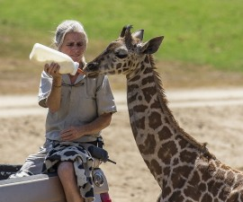 Eileen Neff, a senior mammal keeper at the San Diego Zoo Safari Park, feeds a bottle to Congo, a male giraffe calf in the East Africa habitat on Thursday morning, Aug. 27. This was the first time animal care staff fed the 2-month-old calf a bottle while he was with his herd.  Congo is being bottle-fed by animal care staff following the death of his mother, earlier this month. The giraffe calf began taking bottles from animal care staff while he was being cared for at the Park's veterinary hospital. He was then transitioned to a boma, or barn, in the East Africa habitat and paired up with a 2-year-old giraffe, Leroy, who was also bottle-fed as a young calf.  	Congo and Leroy were re-released into the East Africa exhibit at the Safari Park this morning, and Congo was soon seen playing with two other female calves, Siri and Yamakaui. All three calves were born this summer at the Safari Park.  San Diego Zoo Global is partnering with the Giraffe Conservation Foundation to help conserve giraffes in East Africa. This year, scientists from the Zoo's Institute for Conservation Research have been developing a conservation project that will include Kenyan pastoralists, to find ways to collaborate to protect giraffes in the savanna.  Photo taken on Aug. 27, 2015, by Ken Bohn, San Diego Zoo Safari Park.