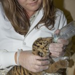 San Diego Zoo Safari Park animal care staff bottle feeds week-old tiger cub. A single male Sumatran tiger cub was born at 1:54 a.m. Sept. 14 at the San Diego Zoo Safari Park's Tull Family Tiger Trail, to first-time tiger parents Teddy and Joanne. Although Joanne cared for the cub the first few days, keepers noticed he was losing weight, and felt he wasn't receiving the proper care he needed to thrive. The Safari Park's animal care team then made the difficult decision to hand-rear the cub. He was moved to the Ione and Paul Harter Animal Care Center at the Safari Park, where he is now being cared for around the clock.  	The cub is the 26th endangered Sumatran tiger to be born at the Safari Park, and he is the first cub to be hand-reared at the park since 1984. At the care center, he's being bottle fed seven times a day—with a formula made especially for carnivores that is easy to digest, made from goats' milk. Guests will be able to see the cub in the near future at the Ione and Paul Harter Animal Care Center at the Safari Park during his bottle feeding times, which will be posted daily in front of the viewing window.
