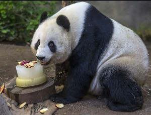 "Bai Yun  celebrated her 24th birthday with a tasty ""cake"" made of applesauce and apple chunks."