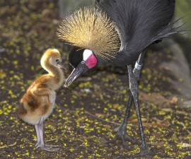 A crowned crane mother feeds her young foster chick during early morning breakfast at the San Diego Zoo Safari Park.