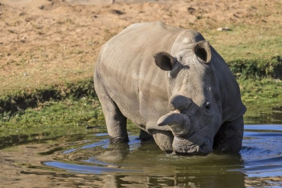 How and Why We Came to Sequence Northern White Rhino Genomes by Oliver Ryder, Ph.D., Director of Genetics