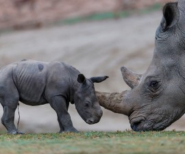 Cute and Curious: Three-Day-Old Southern White Rhino Explores Habitat at San Diego Zoo Safari Park