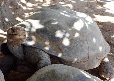 This is one of the Zoo's Galápagos tortoises resting in the shade. The two found in this enclosure are believed to be around 120 years old, and are named Abigail and Grandma. A Galápagos tortoise can measure up to 6 feet long, 4 feet wide, and weigh up to 600 pounds. These two have a top speed of about 4 miles a day and eat a variety of grasses, as well as carrots, watermelon, and yams. These tortoises are native to the Galápagos Islands in habitats anywhere from grassy open areas to rocky volcanic outcroppings. Even though these tortoises have no natural predators on the islands, they are listed as endangered due to hunting by humans and invasive species.