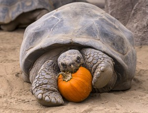 San Diego Zoo's oldest resident, 130-year-old Galapagos tortoise Grandma, celebrates Halloween with a pumpkin breakfast.